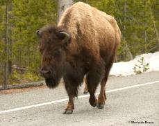 bison I77A7869© Maria de Bruyn res