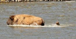 bison I77A9103© Maria de Bruyn res