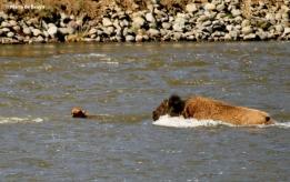 bison I77A9113© Maria de Bruyn res