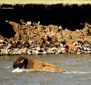 bison I77A9135© Maria de Bruyn res