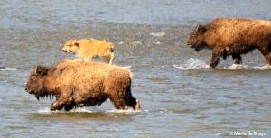 bison I77A9171© Maria de Bruyn res