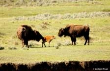 bison I77A9283© Maria de Bruyn res