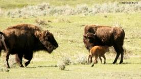 bison I77A9293© Maria de Bruyn res