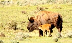 bison I77A9321© Maria de Bruyn res