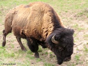 bison IMG_4562© Maria de Bruyn res