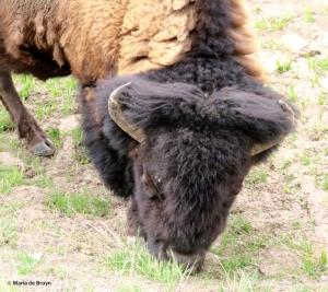 bison IMG_4563© Maria de Bruyn res