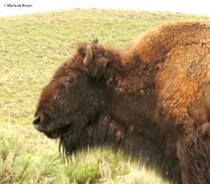 bison IMG_8457© Maria de Bruyn res