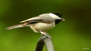 Carolina chickadee Chancey I77A7762© Maria de Bruyn res