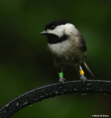 Carolina chickadee Chantal I77A9525© Maria de Bruyn res