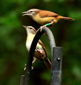 Carolina wren Renee and Riley I77A9074© Maria de Bruyn res