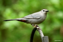 gray-headed catbird Camden I77A8990© Maria de Bruyn res