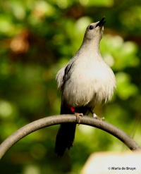 gray-headed catbird Corey I77A8083© Maria de Bruyn res