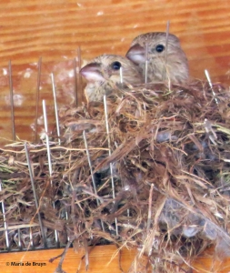 House finch nest 1IMG_4373© Maria de Bruyn res