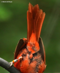 Northern cardinal Crake I77A0559© Maria de Bruyn res