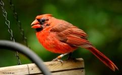 Northern cardinal Crake I77A0593© Maria de Bruyn res