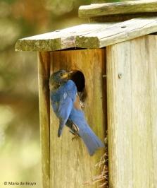 Eastern bluebird I77A5733© Maria de Bruyn res