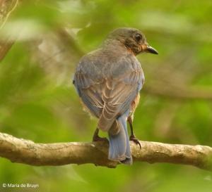 Eastern bluebird I77A7702© Maria de Bruyn res