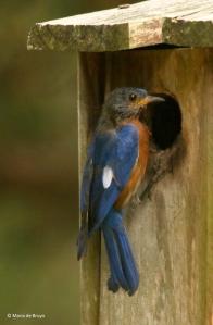 Eastern bluebird I77A7729 © Maria de Bruyn res