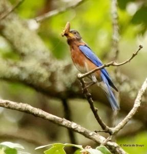 Eastern bluebird I77A8417© Maria de Bruyn
