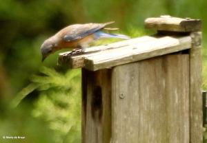 Eastern bluebird I77A8584© Maria de Bruyn res