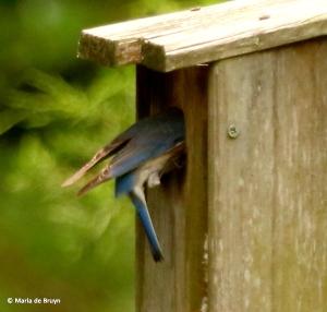 Eastern bluebird I77A8592© Maria de Bruyn