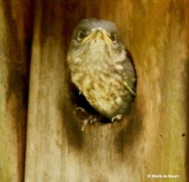Eastern bluebird I77A8648© Maria de Bruyn