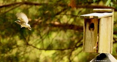 Eastern bluebird I77A8746© Maria de Bruyn res