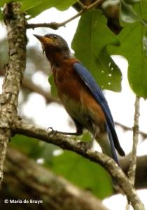 Eastern bluebird I77A8791© Maria de Bruyn res
