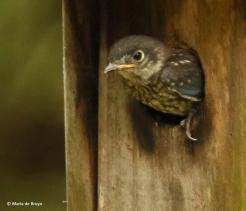 Eastern bluebird I77A8861© Maria de Bruyn res