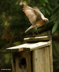 Eastern bluebird I77A8877© Maria de Bruyn res