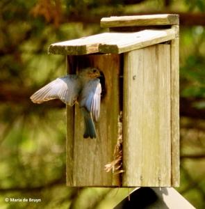 Eastern bluebird I77A8891© Maria de Bruyn res