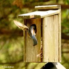Eastern bluebird I77A8899© Maria de Bruyn res