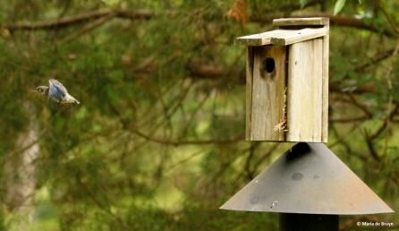Eastern bluebird I77A8930© Maria de Bruyn res