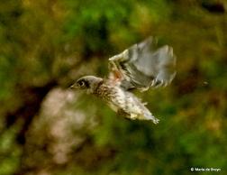 Eastern bluebird I77A8931© Maria de Bruyn