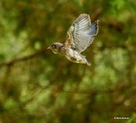 Eastern bluebird I77A8932© Maria de Bruyn res