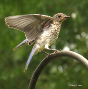 Eastern bluebird IMG_1509© Maria de Bruyn res