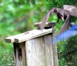 Eastern bluebird IMG_3840© Maria de Bruyn res