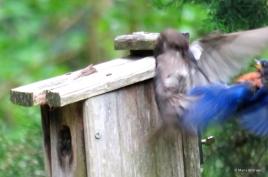 Eastern bluebird IMG_3841© Maria de Bruyn res