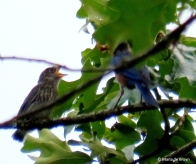 Eastern bluebird IMG_4723© Maria de Bruyn