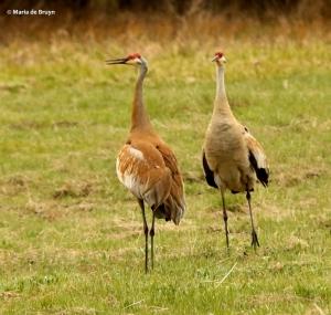 sandhill crane I77A7910© Maria de Bruyn res
