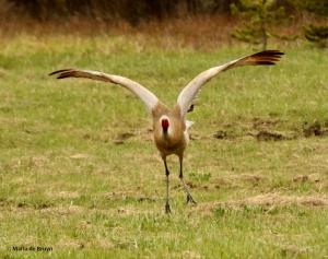 sandhill crane I77A7915© Maria de Bruyn res