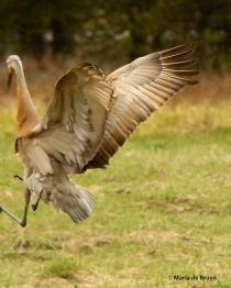 sandhill crane I77A7917© Maria de Bruyn2 res
