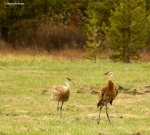 sandhill crane I77A7925© Maria de Bruyn res