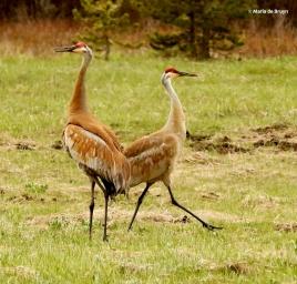 sandhill crane I77A7926© Maria de Bruyn res
