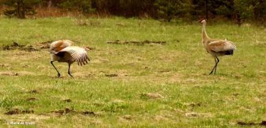 sandhill crane I77A7934© Maria de Bruyn res