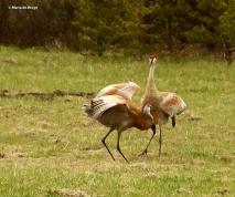 sandhill crane I77A7938© Maria de Bruyn res