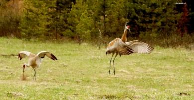 sandhill crane I77A7947© Maria de Bruyn res
