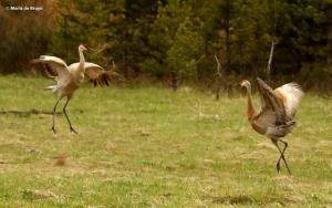 sandhill crane I77A7955© Maria de Bruyn res