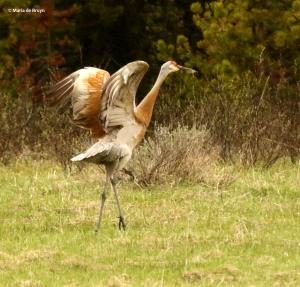 sandhill crane I77A8005© Maria de Bruyn res