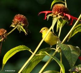 American goldfinch I77A0177©Maria de Bruyn res